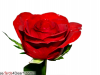 Beutiful Greeting Of Rose Flower
