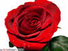 Send This Rose To Your Dear One