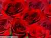Beautiful Background of Red Roses