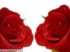 Cute Two Roses