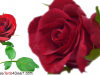 Send These Roses To Your Near and Dear One